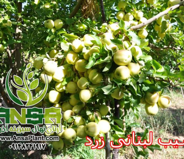 سیب سفید لبنان