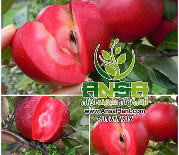 سیب خونی (تو سرخ)