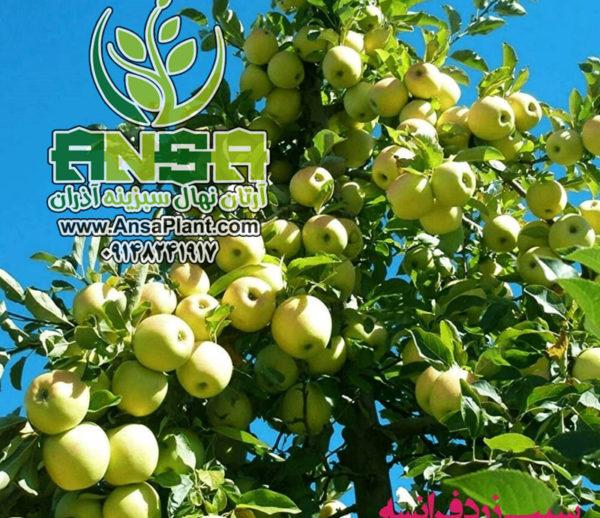 سیب سفید فرانسه
