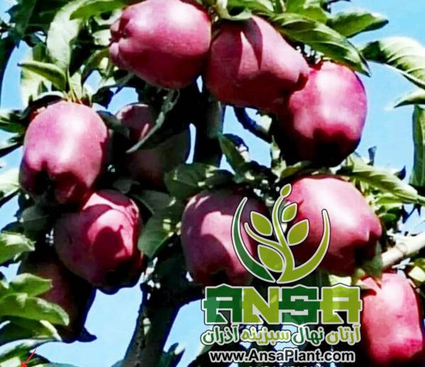 سیب میراکل