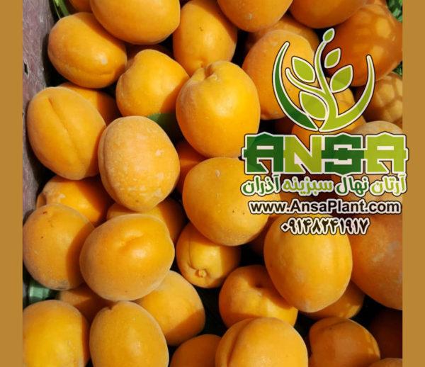 زردآلو پرتقالی