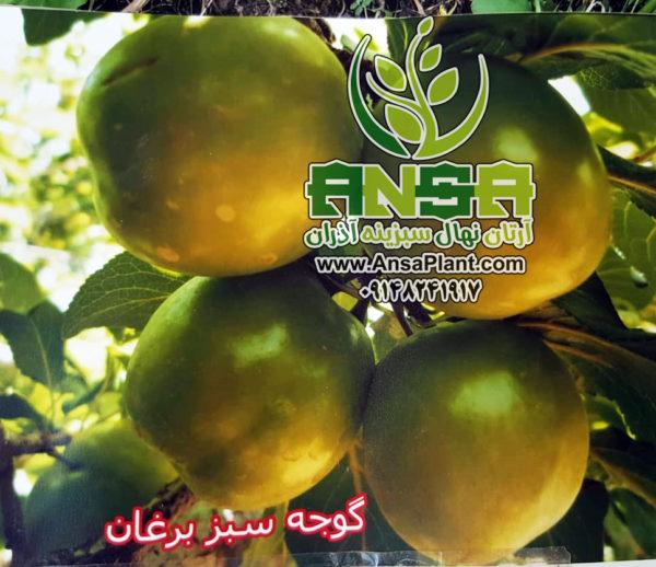 آلوچه سبز برغان